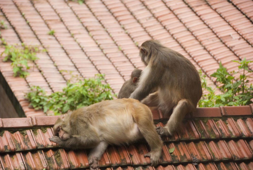 Climbing the steps I caugh this pregnant monkey taking a siesta