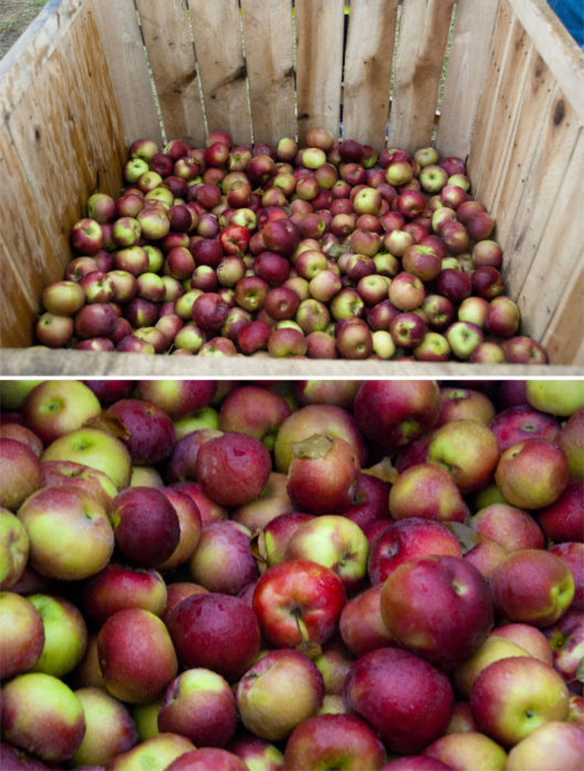 """""""Apple picking"""" is more like apple sorting in the rain"""